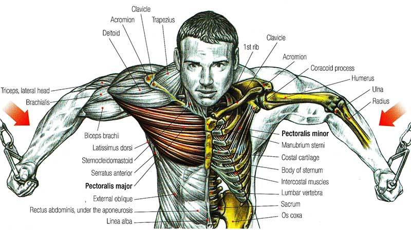 Anatomy of the Chest